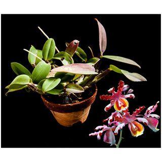 Myrmecophila grandiflora Orchid (FRAGRANT)