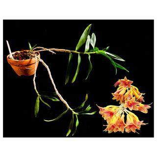*REDUCED* Dendrobium x usitae Orchid