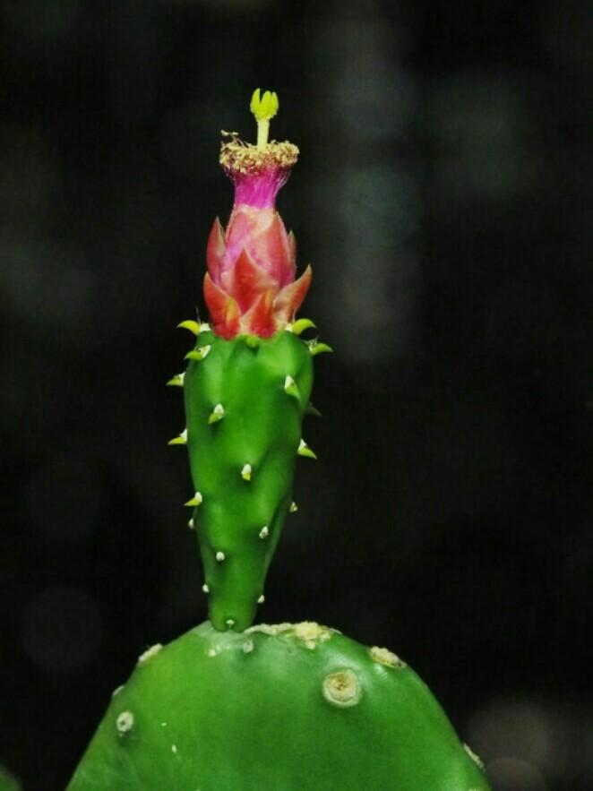 Big Prickly pear cactus succulent above 30cm tall garden plant gift teacher's day