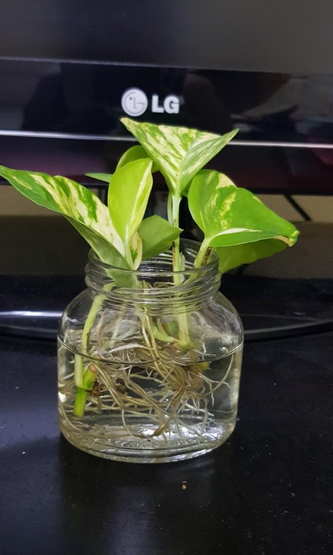 Gift, hydroponic money plant and fertiliser, desktop plant, indoor plant, home,office, kitchen, balcony decoration