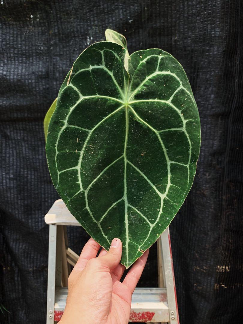 Anthurium Crystallinum X Forgetii Gardening Plants On Carousell