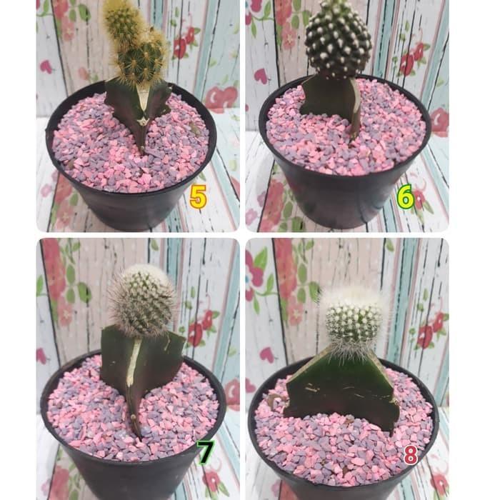 Kaktus mini tanaman kaktus