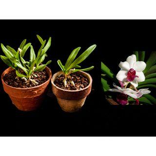 Holcostylis MS Sunlight Orchid Seedlings (very fragrant)