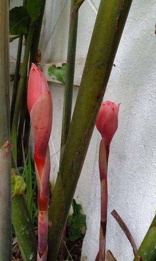 Red Bunga Kantan plant
