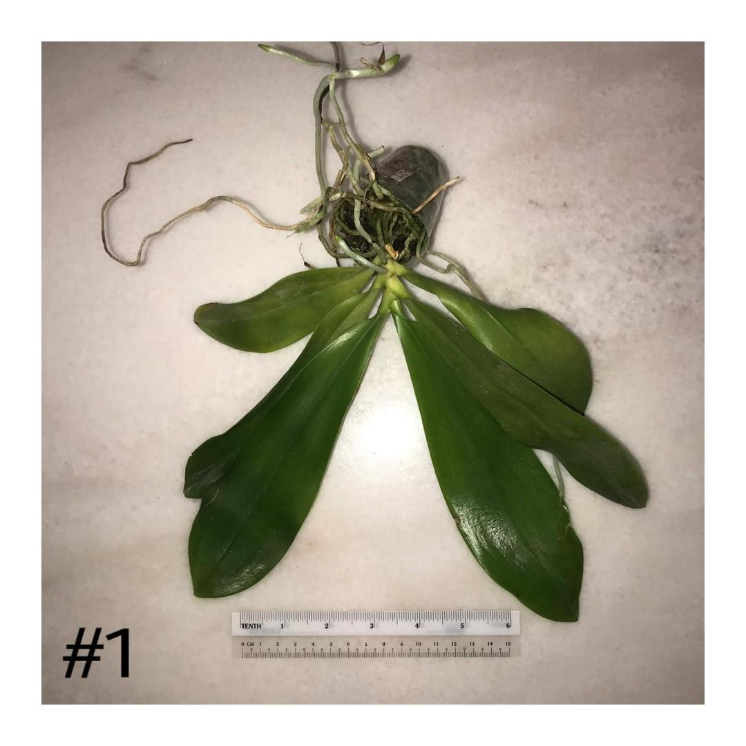 Phalaenopsis tetraspis #1