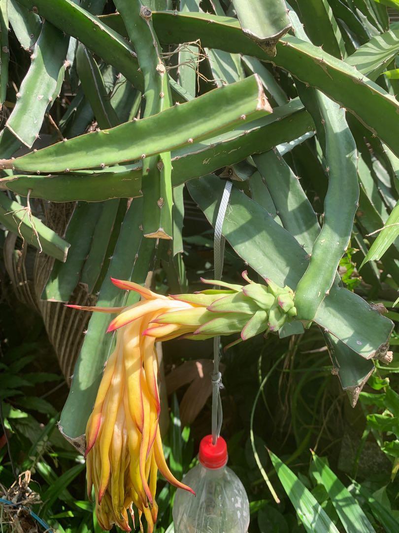 Red flesh Dragon Fruit Stems