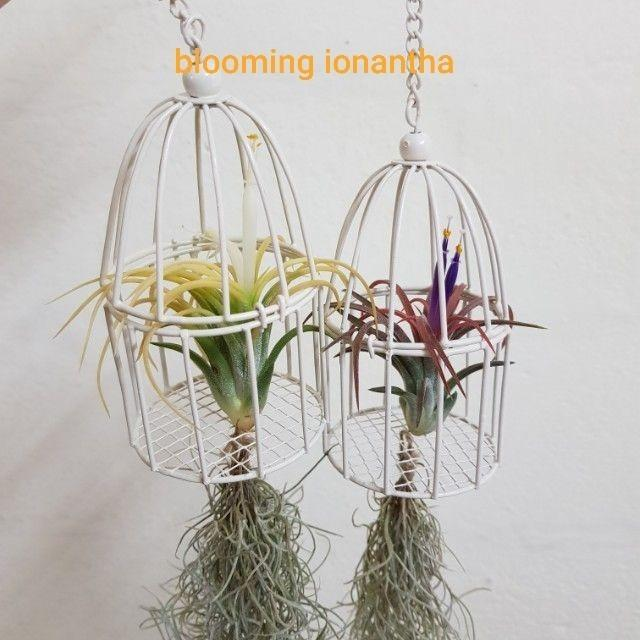 Air plant, children day's gifts, wedding gifts, party gifts, desktop plant, indoor plant, mini bonsai, home office kitchen balcony decoration