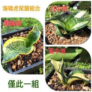 錦斑 海嘯虎尾蘭 組合 3入1組(黃中斑 白中斑 覆輪) 多肉植物 龍舌蘭科