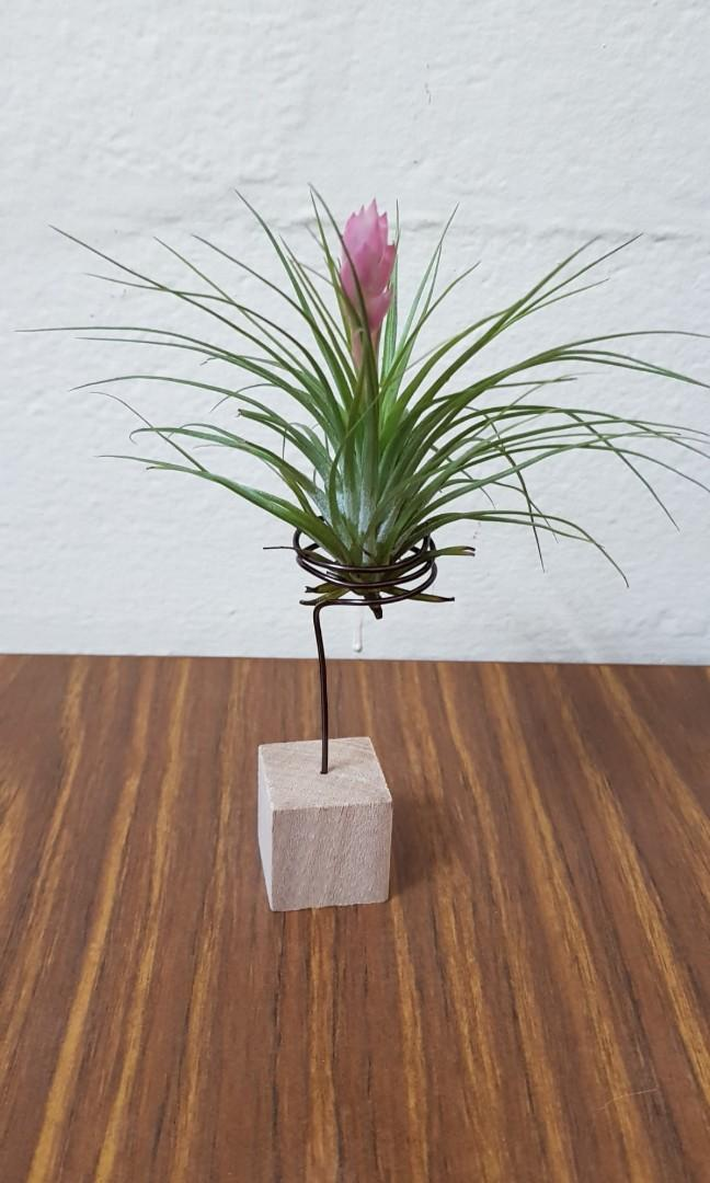 Air Plant, blooming stricta ,gift, indoor outdoor plant, desktop plant, home,office, balcony, kitchen decoration