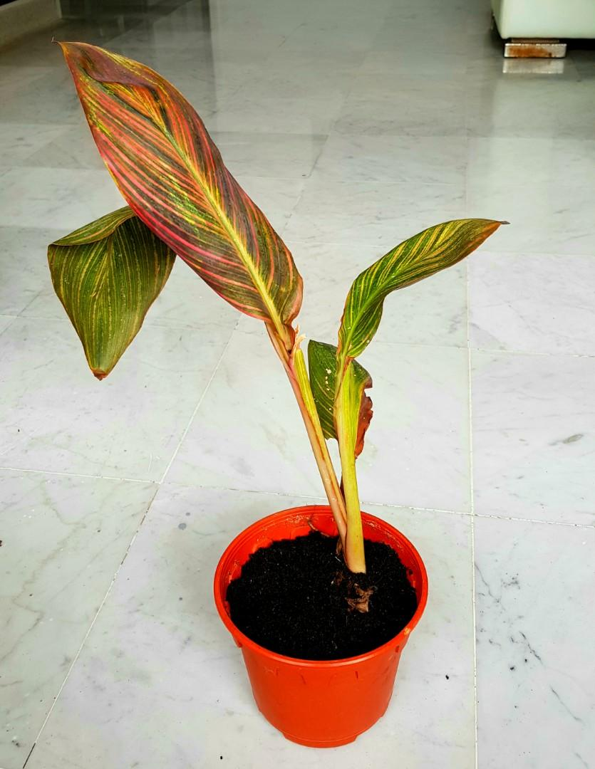 """Canna """"phasion"""" variegated"""