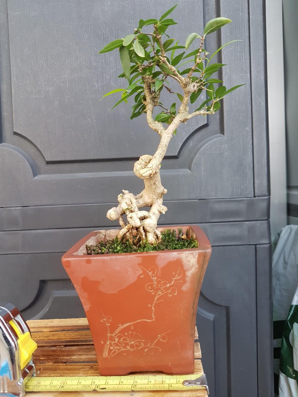Bonsai plant - Water Jasmine Shuimei 水梅盆栽