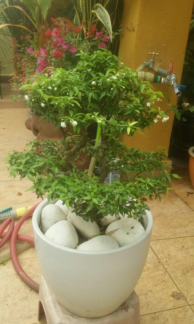 Water jasmine bonsai 1