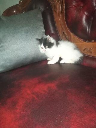 Ready adopt kitten persia jantan Mix ragdoll 3bln