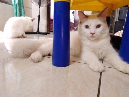 Kitten Persia Mix Anggora