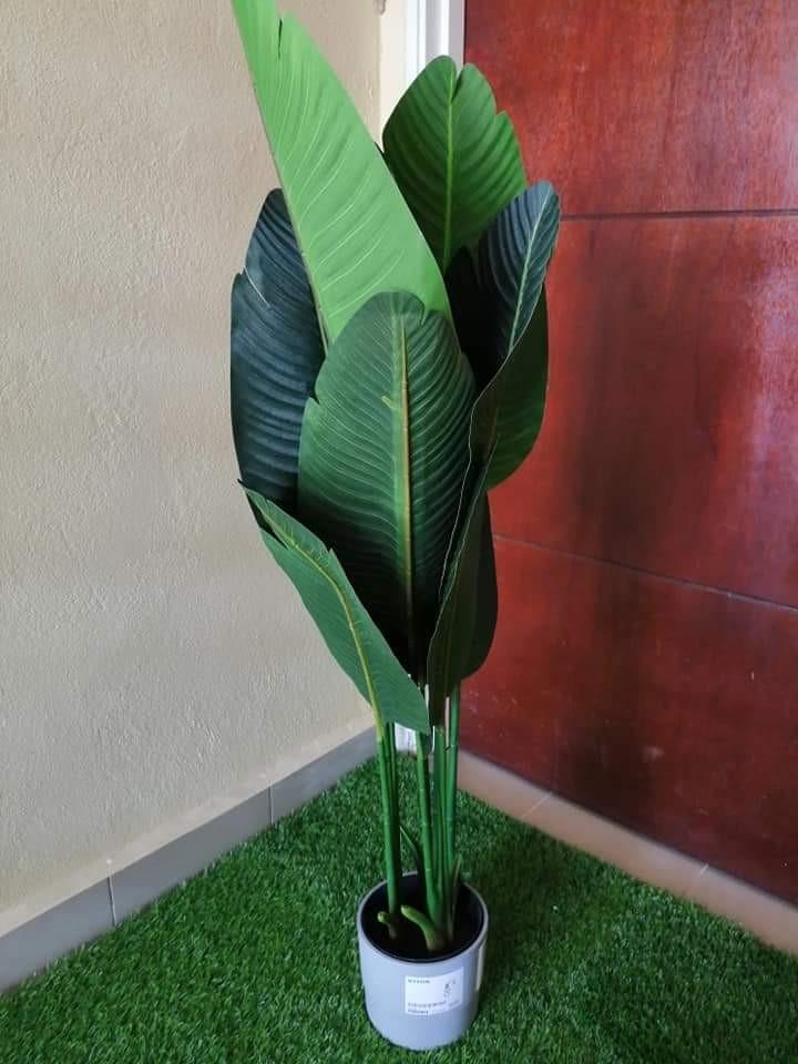 Pokok pisang viral 1.2m dan 1.6m