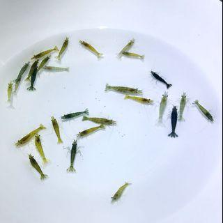 🌈好物回收。淘汰寵物米蝦- 綠色組💚 (50隻)
