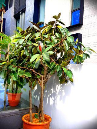Ficus Elastica Plant
