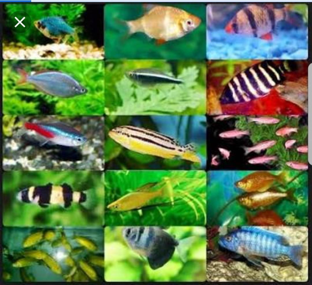 Ikan Hias Predator Murah Untuk Aquascape Aquarium Perlengkapan Hewan Aksesoris Hewan Di Carousell