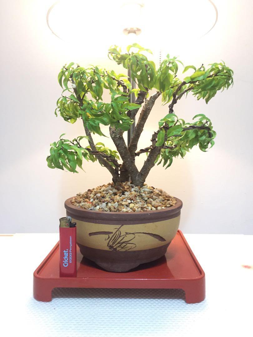 Bonsai Santalia/Wrightia religiosa (Forest Style)