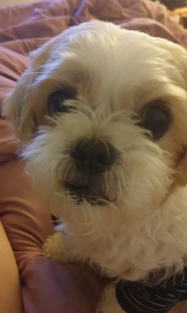Looking For Maltese Shih Tzu Or This