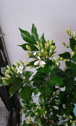 Chinese jasmine Rm 15 with pot fragrance full