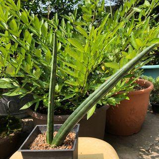 25公分 青蟹虎尾蘭 多肉植物 龍舌蘭科
