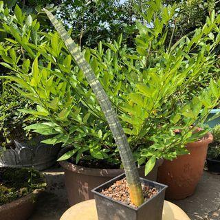 35公分 虎紋黑鮑魚虎尾蘭 多肉植物 龍舌蘭科