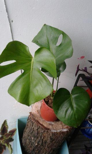 Monstera plant with pot Rm 20
