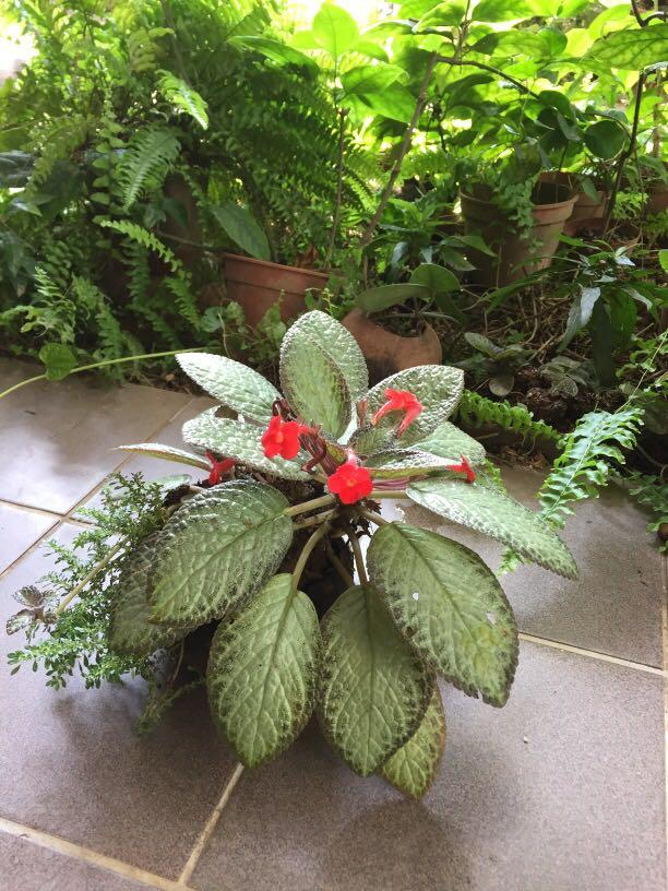 Beautiful Episcia