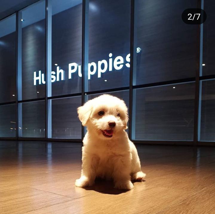 Jual anjing pupies