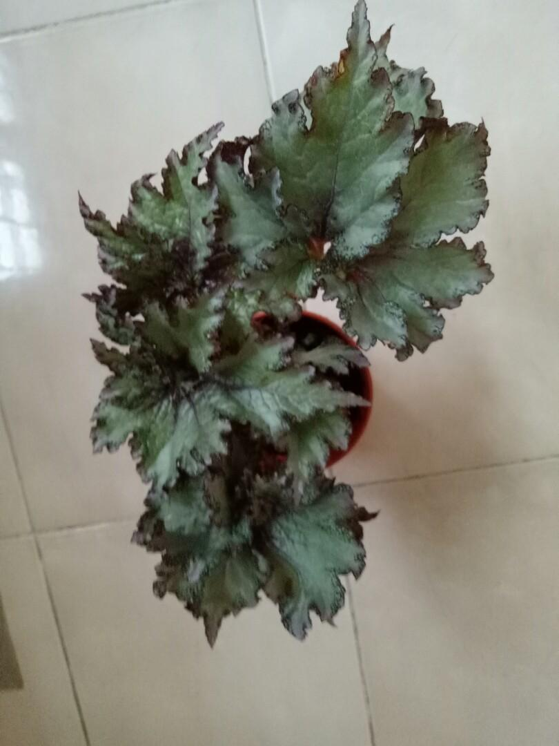 Noid begonia