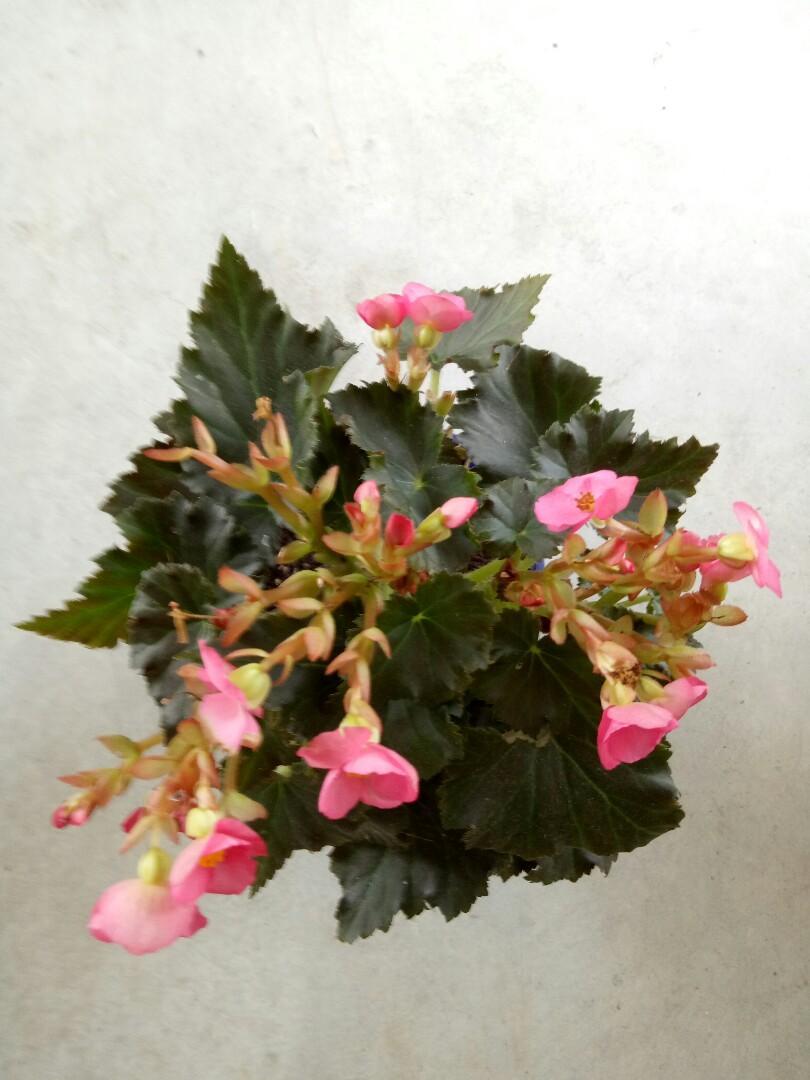 Rose begonia