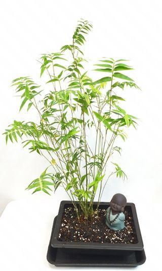 Bonsai Bamboo Grass Garden