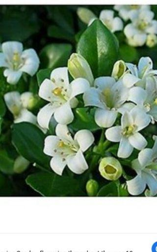 Beautifull full fragrance jasmine Rm 15 only