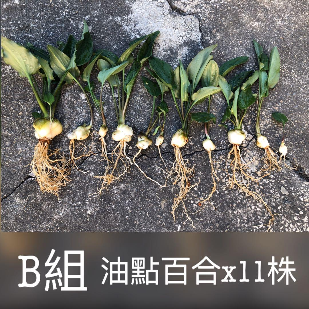 B組11株 油點百合 爆盆 百合科 多肉植物