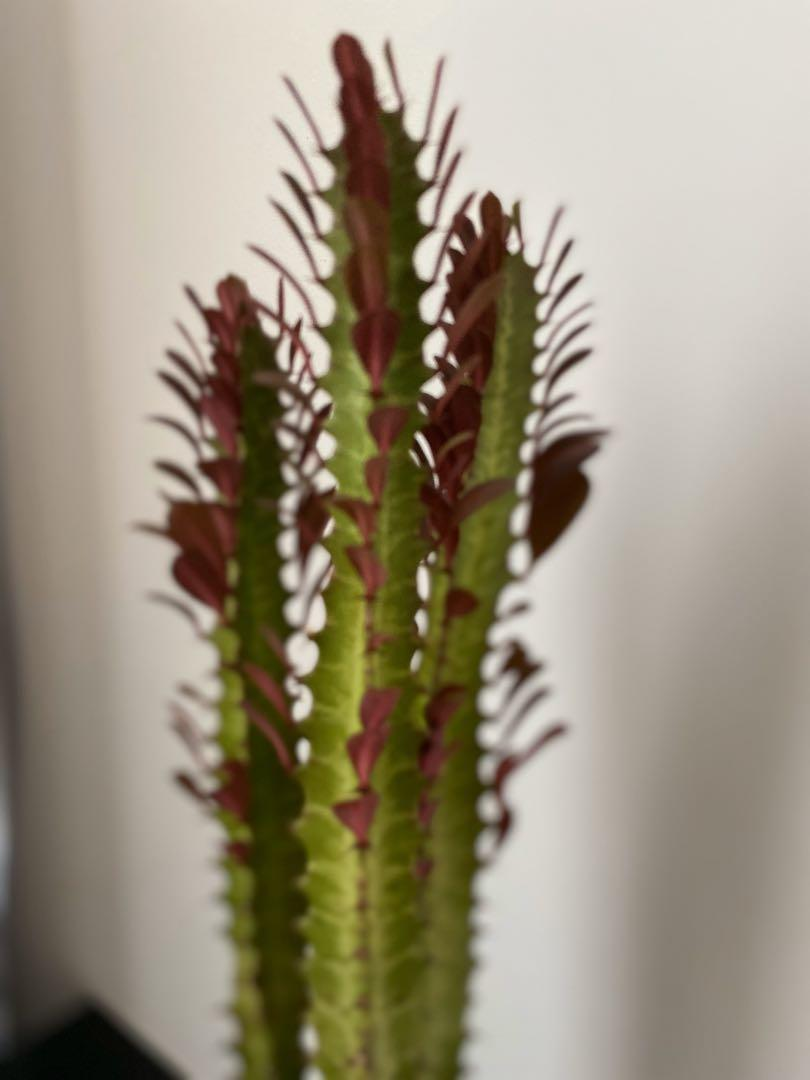 Euphorbia Trigona Rubra