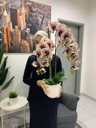 Orchid premium latex