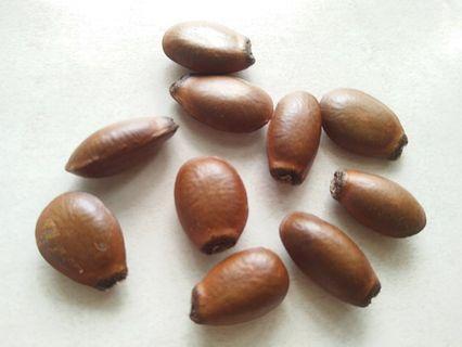 10 Seeds of Soursop / 10 Biji Benih Durian Belanda