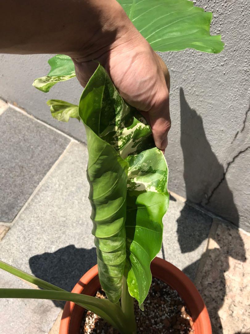 Alocasia Macrorrhiza Variegata