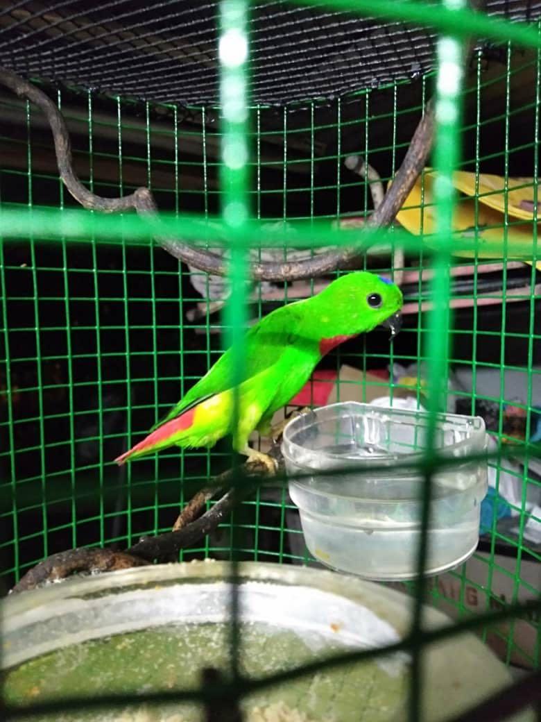 Burung Serindit Rintik Pet Supplies Pet Accessories On Carousell