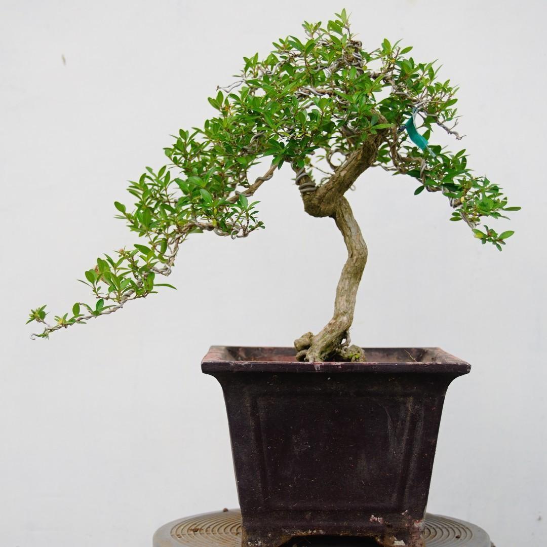 Bonsai Serissa Foetida 12 1044 Gardening Plants On Carousell