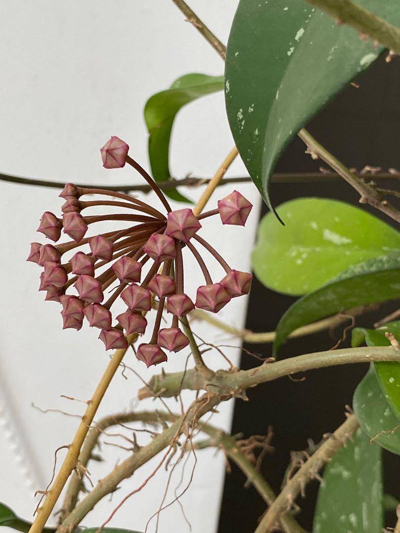 Hoya Pubicalyx Royal Hawaiian Purple