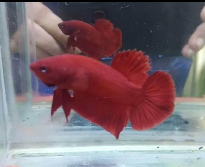 Ikan Cupang Super Red Perlengkapan Hewan Aksesoris Hewan Di Carousell