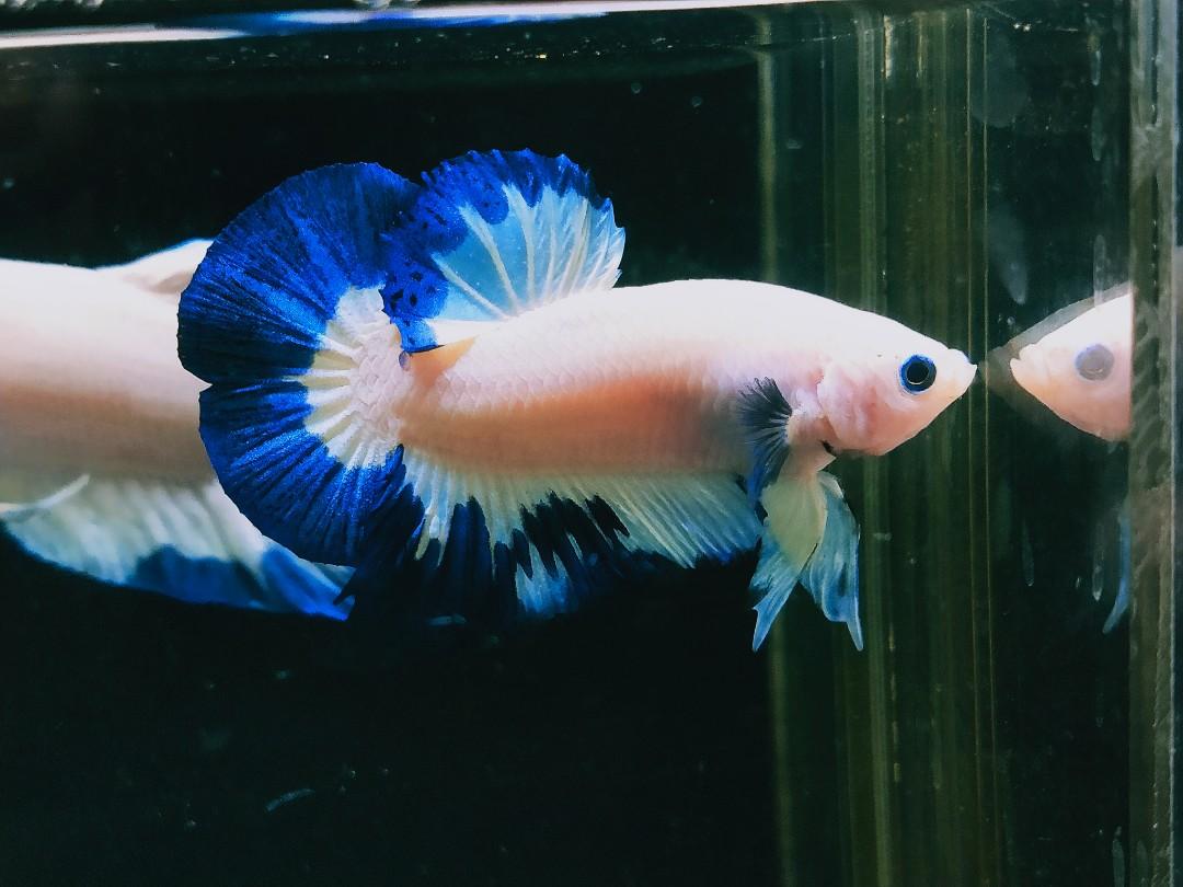Ikan Cupang Bluerim Line Thailand A1 Perlengkapan Hewan Makanan Hewan Di Carousell