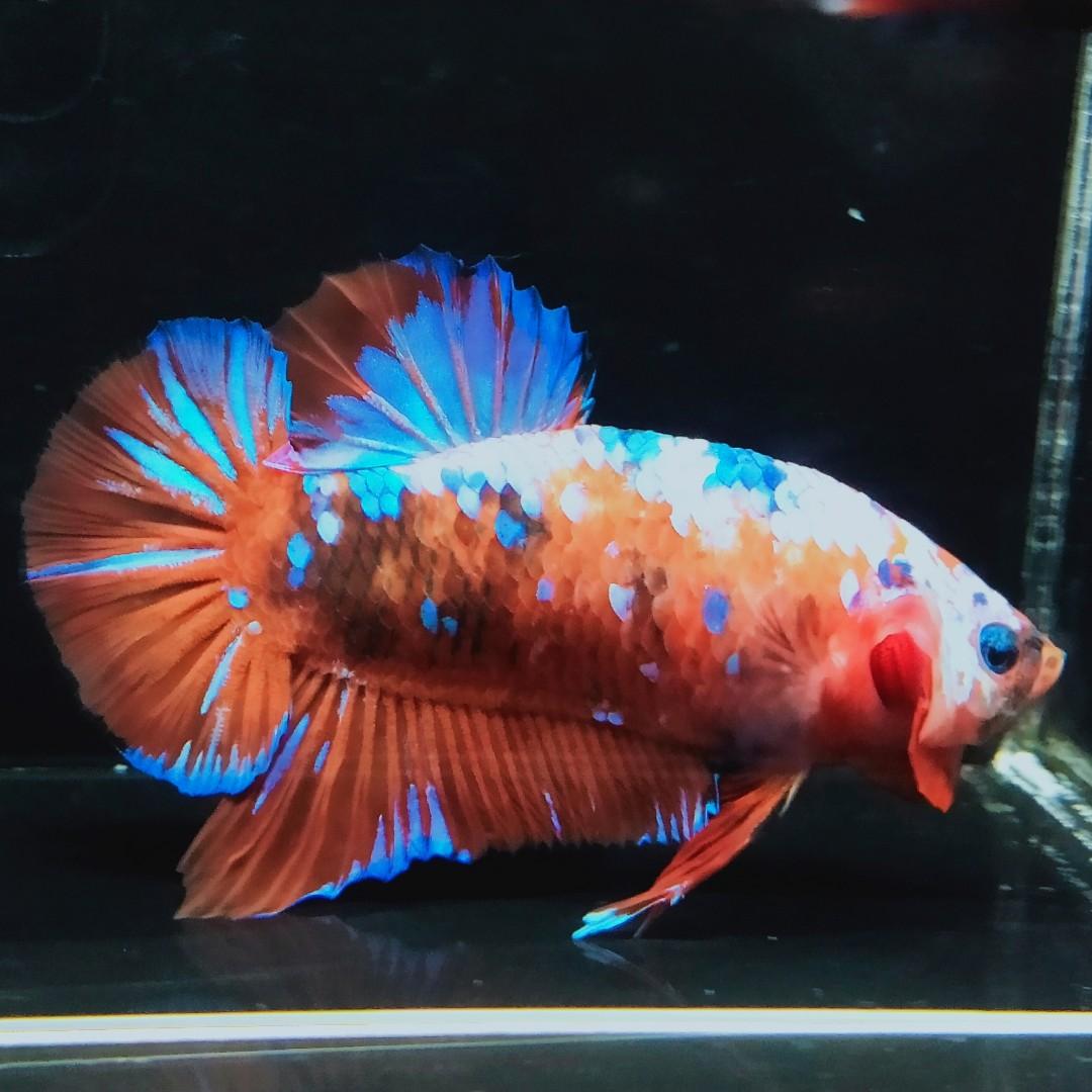 Ikan Cupang Giant Nemo Galaxy Perlengkapan Hewan Aksesoris Hewan Di Carousell