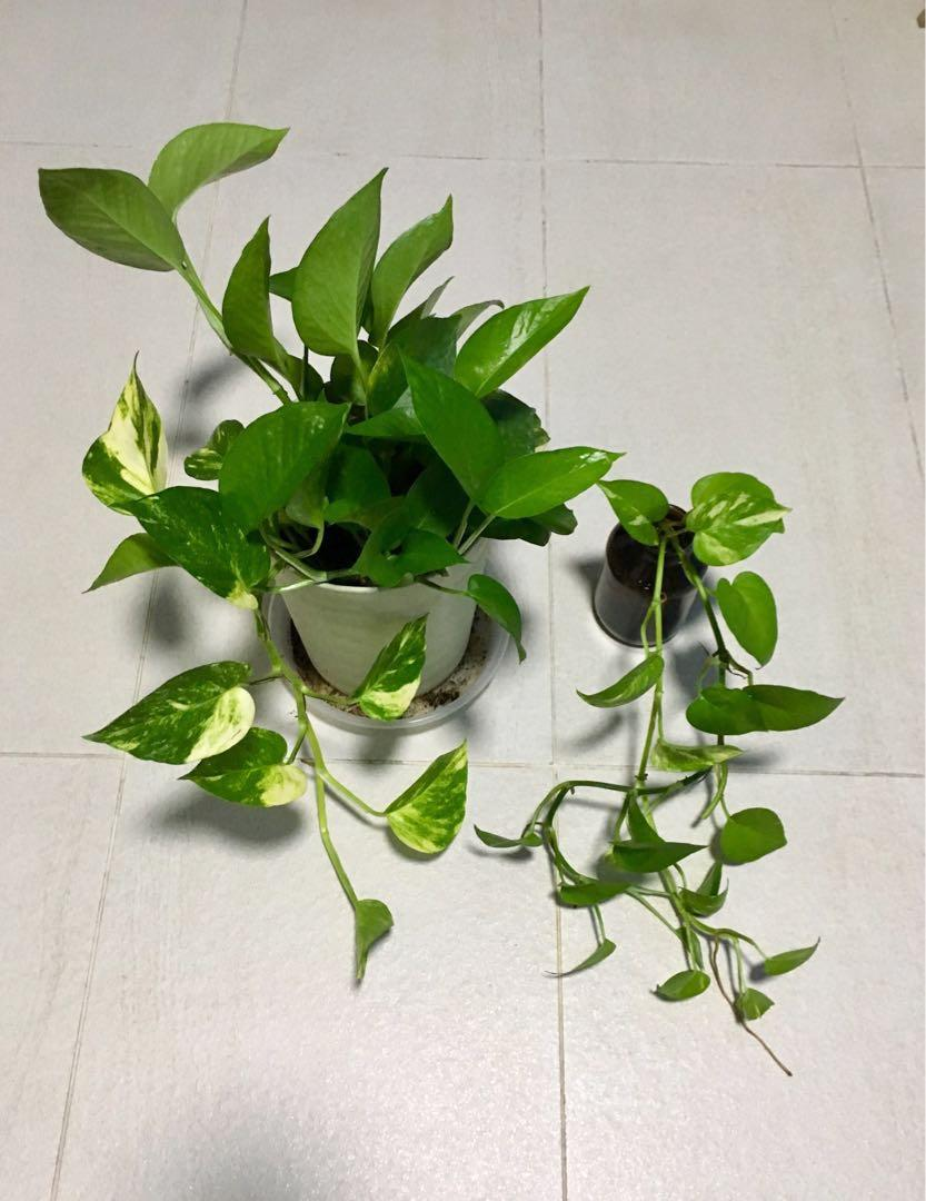 Money plants (in pot and some cuttings in water)