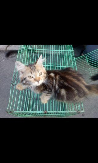 Kitten Persia flatnos mix munchkin