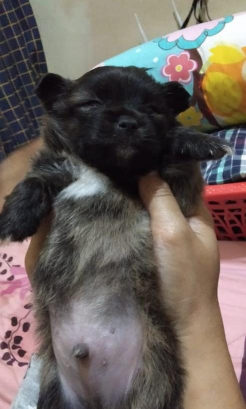 Anjing maltese mix pom