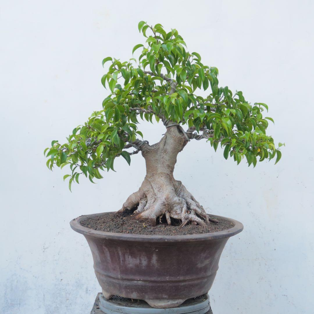 Bonsai Ficus Benjamina Gardening Plants On Carousell