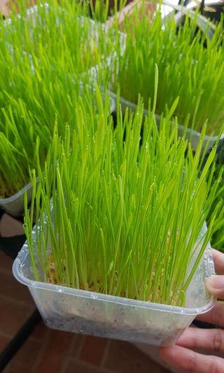 Cat grass for cats